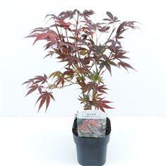 Afbeelding van acer palmatum Atroppurpureum