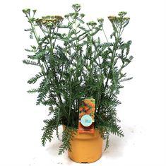 Afbeelding van Achillea millefolium Terracotta