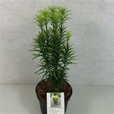 Afbeelding van Cephalotaxus harringtonii Korean Gold