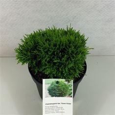 Afbeelding van Chamaecyparis lawsoniana Green Globe