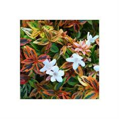 Afbeelding van Abelia grandiflora Kaleidoscope