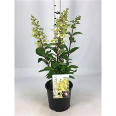 Afbeelding van Hydrangea paniculata Candlelight ® PBR
