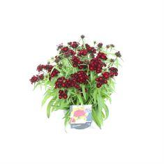 Afbeelding van Dianthus barbatus dash crimson