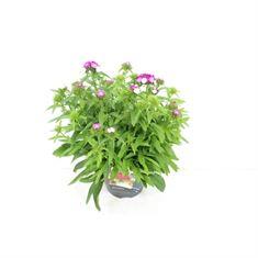 Afbeelding van Dianthus barbatus dash magician