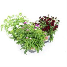 Afbeelding van Dianthus barbatus dash mix
