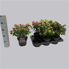 Afbeelding van Hypericum Miracle in cultivars