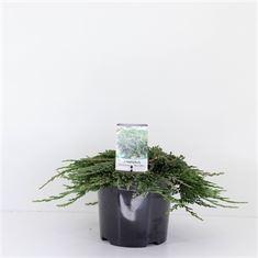 Afbeelding van Juniperus horizontalis Pancake