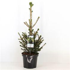 Afbeelding van Picea abies Wills Zwerg