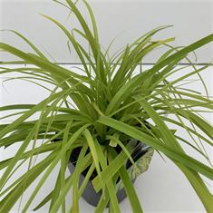 Afbeelding van Carex Everillo