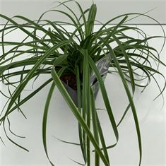 Afbeelding van Carex Everlime