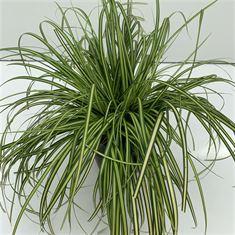 Afbeelding van Carex Eversheen