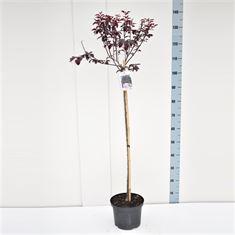 Afbeelding van Prunus cerasifera Nigra 80ST