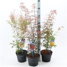 Afbeelding van Acer palmatum mix