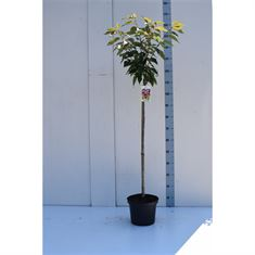 Afbeelding van Prunus serrulata Kanzan 80ST