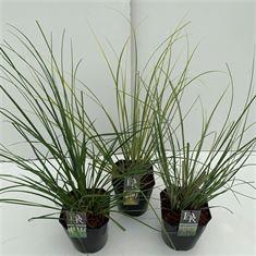 Afbeelding van Cortaderia sell. in soorten