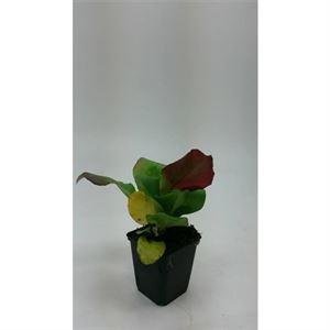 Afbeelding van Bergenia cordifolia herbstblte