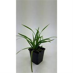 Afbeelding van Carex morrowii Ice Dance
