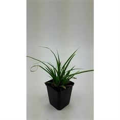 Afbeelding van Carex morrowii Variegata