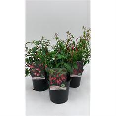 Afbeelding van Fuchsia gemengd