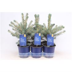 Afbeelding van Picea pungens Glauca