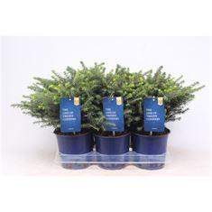 Afbeelding van Picea omorika Karel