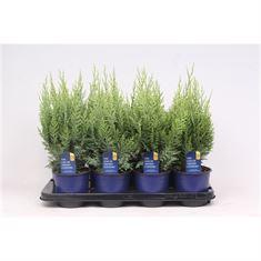 Afbeelding van Coniferen soort per bak
