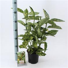 Afbeelding van Aucuba jap. Crotonifolia