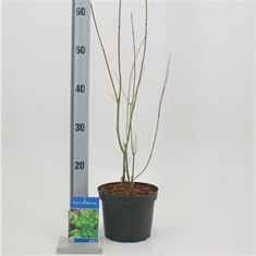 Afbeelding van Acer palmatum