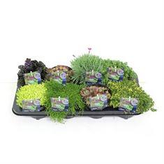 Afbeelding van Rotsplanten mix