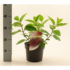 Afbeelding van Hydrangea pan. Wims Red
