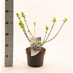 Afbeelding van Lonicera caerulea Blue Velvet