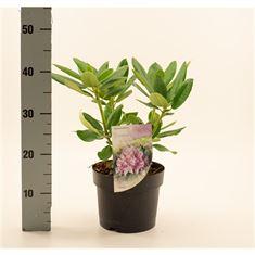 Afbeelding van Rhododendron Roseum Elegans