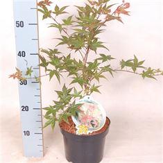 Afbeelding van Acer palm. Deshojo 40-50 C3