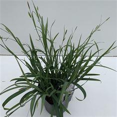 Afbeelding van Carex Bunny Blue