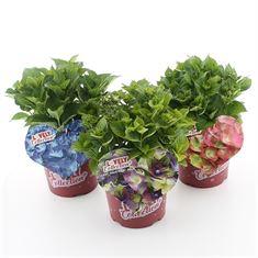 Afbeelding van Hydrangea macr. Lovely Collection® in soorten