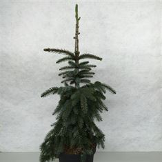 Afbeelding van Picea omorika Pendula Bruns