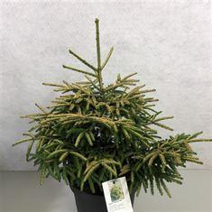 Afbeelding van Picea orientalis Spring Frost