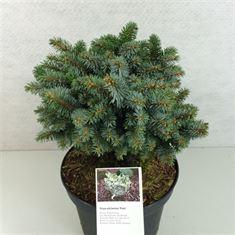 Afbeelding van Picea sitchensis Rom