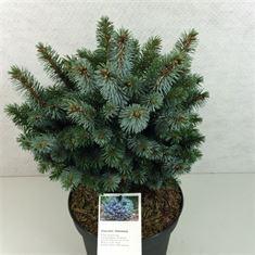 Afbeelding van Picea sitchensis Silberzwerg