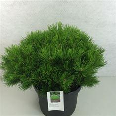 Afbeelding van Pinus densiflora Low Glow