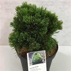Afbeelding van Pinus heldreichii Smidtii