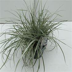 Afbeelding van Carex Everest