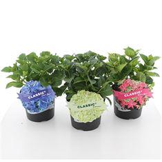 Afbeelding van Hydrangea macrophylla Classic® in soorten