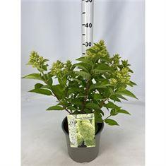 Afbeelding van Hydrangea paniculata Magical Candle ®
