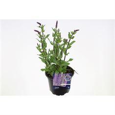 Afbeelding van Salvia nemorosa caradonna