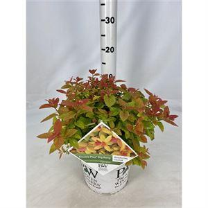 Afbeelding van Spiraea x. Tracy DOUBLE PLAY ® Big Bang