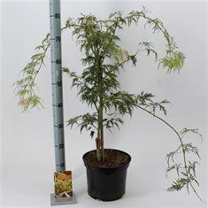 Afbeelding van Acer palmatum Dissectum