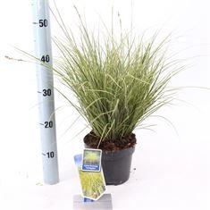 Afbeelding van Carex brunnea Variegata