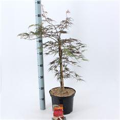 Afbeelding van Acer palmatum Garnet