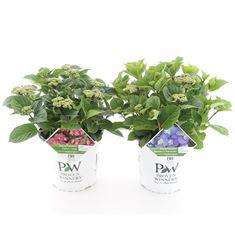 Afbeelding van Hydrangea macrophylla Flair & Flavour® in soorten